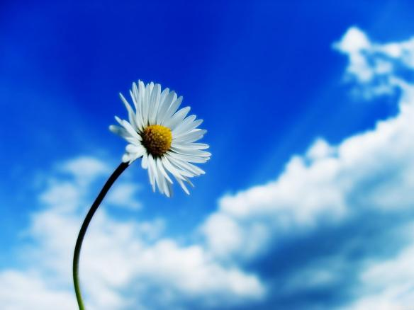 Beautiful-Sky-White-Flower-wallpapers-hd-free-download-background